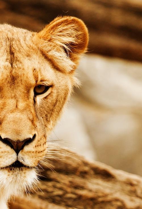 lioness-lionspeak-learning